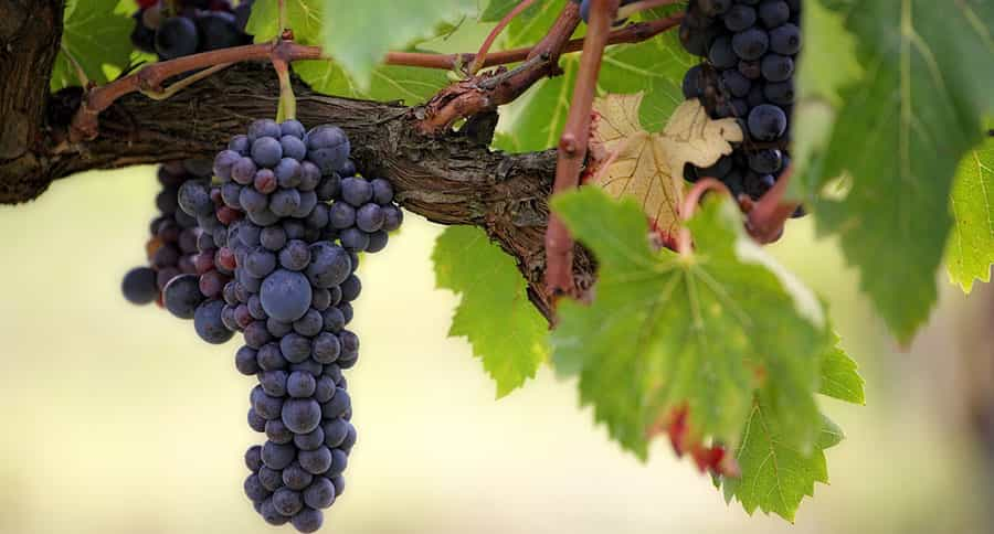 Recolecta de uva