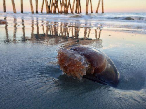 medusa en la orilla