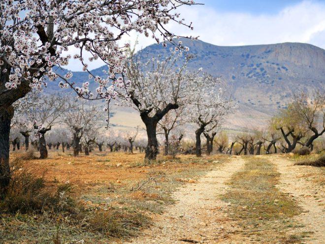 Ruta del Almendro en Flor