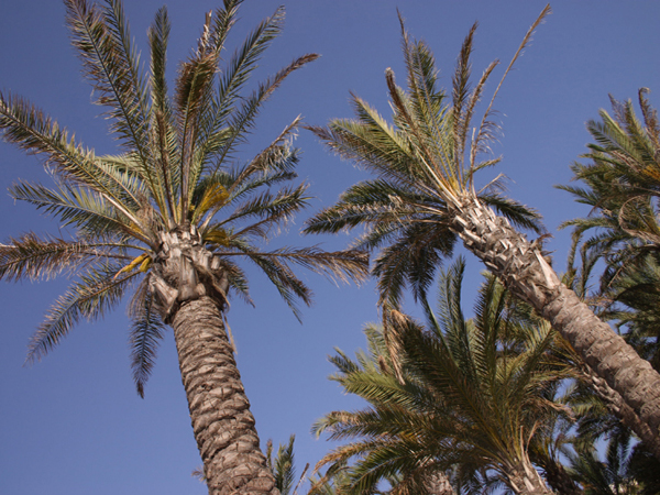 Torremolinos beach Palms
